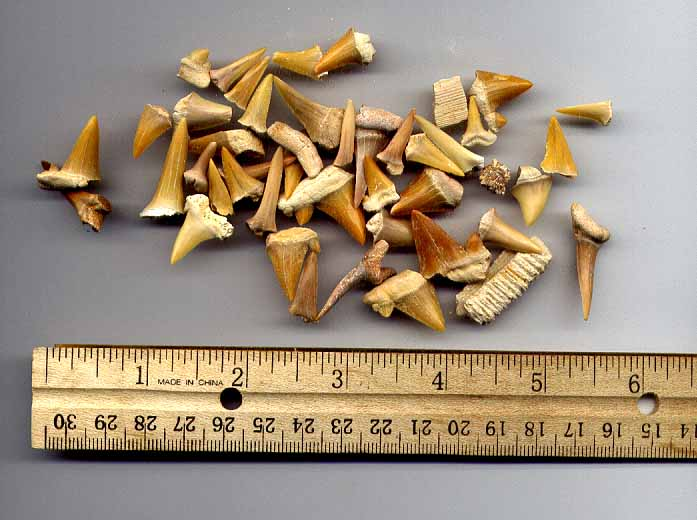 Genuine Fossil Shark Teeth can be found in your Dinosaurs Rock Dinosaur Birthday Party Dig.